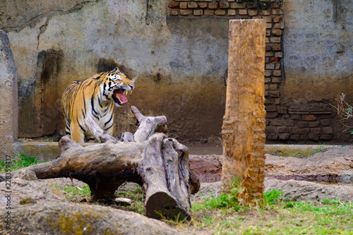 Poster tiger in the zoo with his mouth wide open showing his teeth