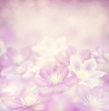 clematis flowers for background