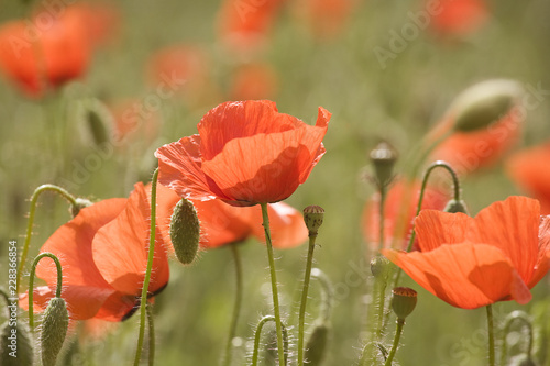 red poppies in a field - 228366854