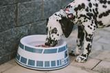 dalmatian dog with heterochromia drinking water