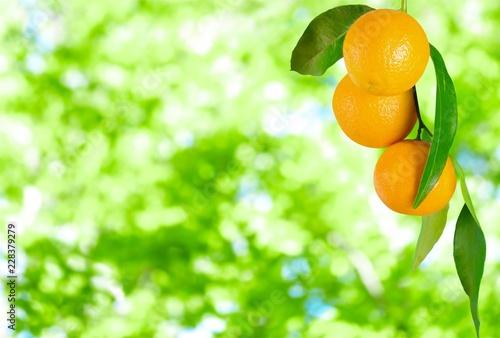 Leinwandbild Motiv Ripe oranges on branch on blurred natural