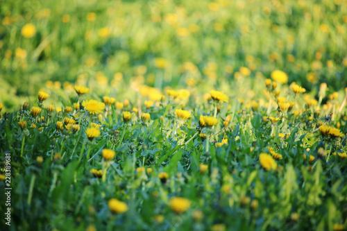 A dandelion meadow in spring season - 228389681