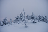 Trees covered by snow at the top of Ruka Hill. Finland - 228389882