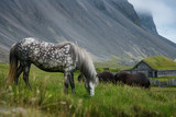 Horses on pasture in Iceland