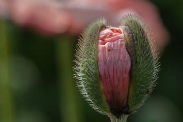 aufgehende Knospe einer rosafarbenen Mohnblüte