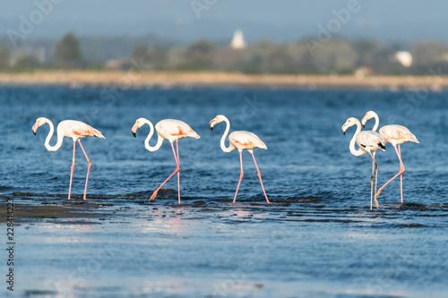 Flamingos at Ria de Aveiro delta