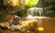 Banded bullfrog (Kaloula pulchra) in wild habitat