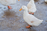 white duck, animal