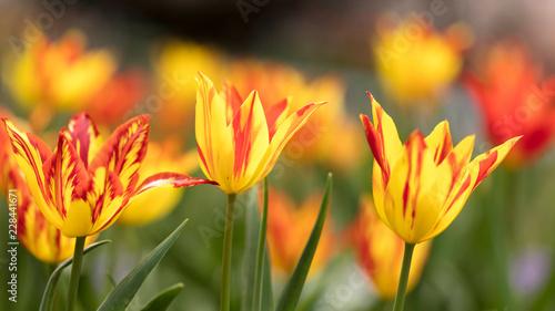 Foto Murales Tulip flowers