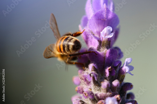 Extreme close up (macro) view of a lavender flower with a bee facing away from the camera collecting pollen