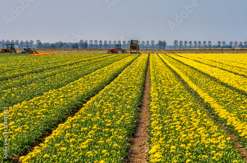 Tulip farmers in the Netherlands