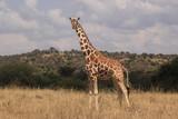Reticulated Giraffe - 228474439