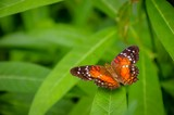 Closeup of colourful butterfly on green leaves - 228489625