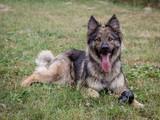 Young german shepherd - 228493696