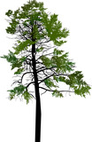 green pine high tree isolated on white