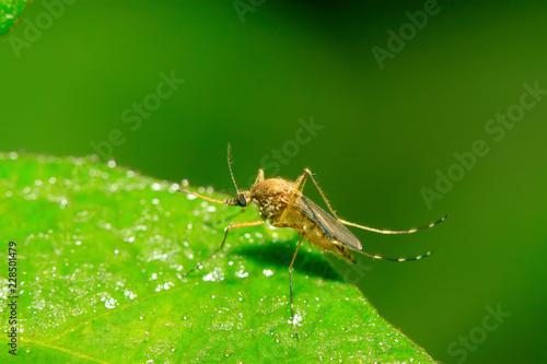 mosquito - 228501479