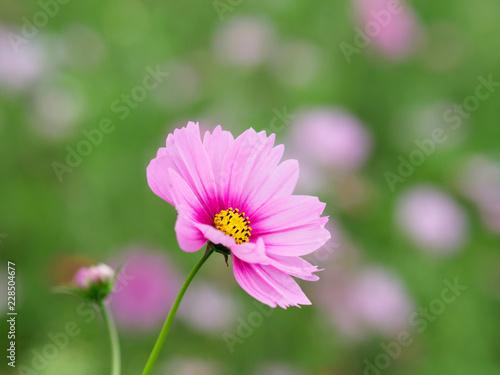 愛らしいピンクのコスモス