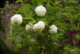 Viburnum Snowball Bush, large white balls of tiny flowers on spring flowering shrub - 228514657