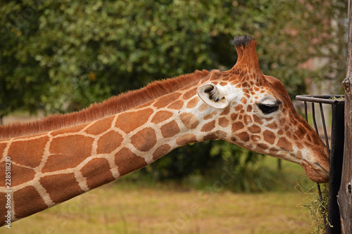 Poster giraffe in zoo