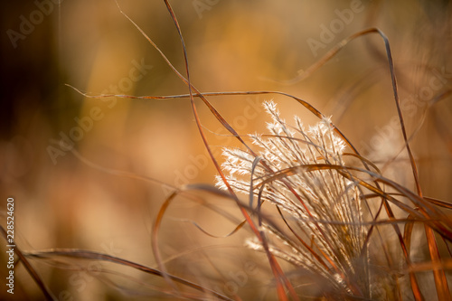 Ornamental grass in autumn at sunset. - 228524620