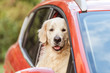 Quadro cute funny retriever dog sitting in red car and looking at camera through window