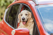 Quadro beautiful golden retriever dog sitting in red car and looking at camera through window