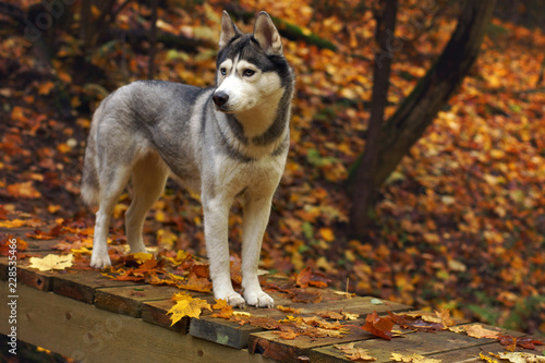 A dog breed Husky stands on a wooden bridge in the forest, covered with autumn, fallen leaves