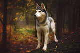 A dog breed Husky stands on a fallen tree trunk in the autumn forest and looks away