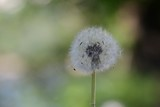 Blowball with green background