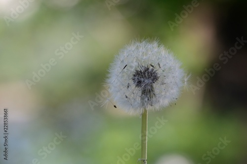 Blowball with green background - 228538661