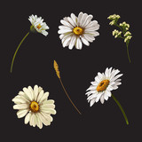 Set with chamomile flowers. Vector botanical illustration. - 228550019