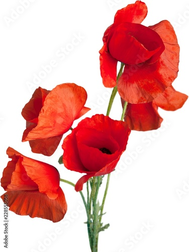 Red poppy flowers - isolated - 228555058
