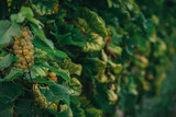 Winogrona na gałęzi