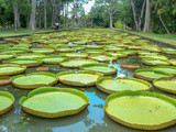 Giant water lilly - 228571657
