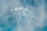 Delicate plants with hoarfrost in cold blue winter light