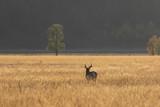 Pronghorn Antelope Buck in Fall