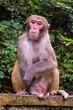 Rhesus Macaque, Macaca mulatta, seen near the Golden Whip Stream, Zhangjiajie UNESCO Global Geopark, Hunan, China.