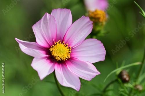 Pink cosmos flower in bloom