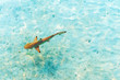 Shark near the shore, Maldives. Top view. With selective focus.
