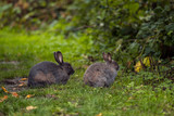 two cute grey rabbit resting on the green grass beside bushes in the park
