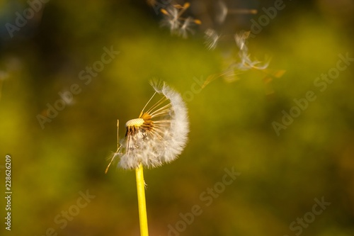 Dandelion blowball - 228626209