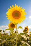 Sunflower in a field of sunflowers with the sky in the