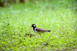 Leinwandbild Motiv Red-wattled lapwing is an Asian lapwing or large plover, a wader in the family Charadriidae.