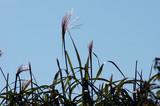 Schilf Gras unter blauem Himmel