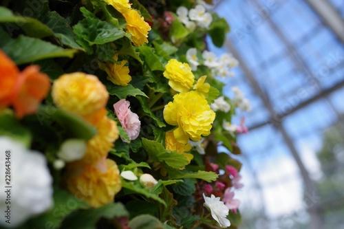 温室で咲くBegoniaの花