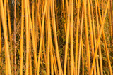bamboo in a botanical garden