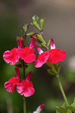 Close up of tiny red flowers and buds of the Salvia x jamensis, Raspberry Royale - 228650410