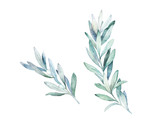Watercolor olive branch. Hand drawn winter illustration - 228652207