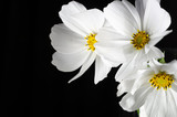 Close up white cosmos flower with black background - 228652259