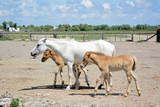 Wild mare and foals in Camargue - 228657065